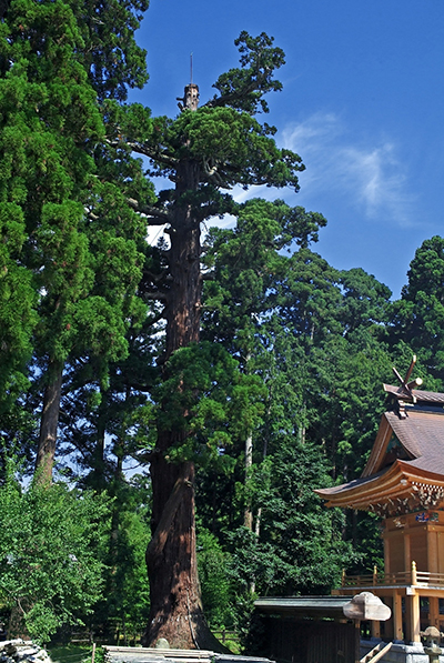 『安良川八幡宮の爺杉(国指定天然記念物)』の画像