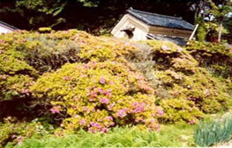 『サツキの古木群(市指定天然記念物)』の画像