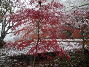 『11月24日現在の紅葉状況1』の画像
