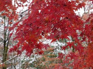 『『11月24日現在の紅葉状況4』の画像』の画像